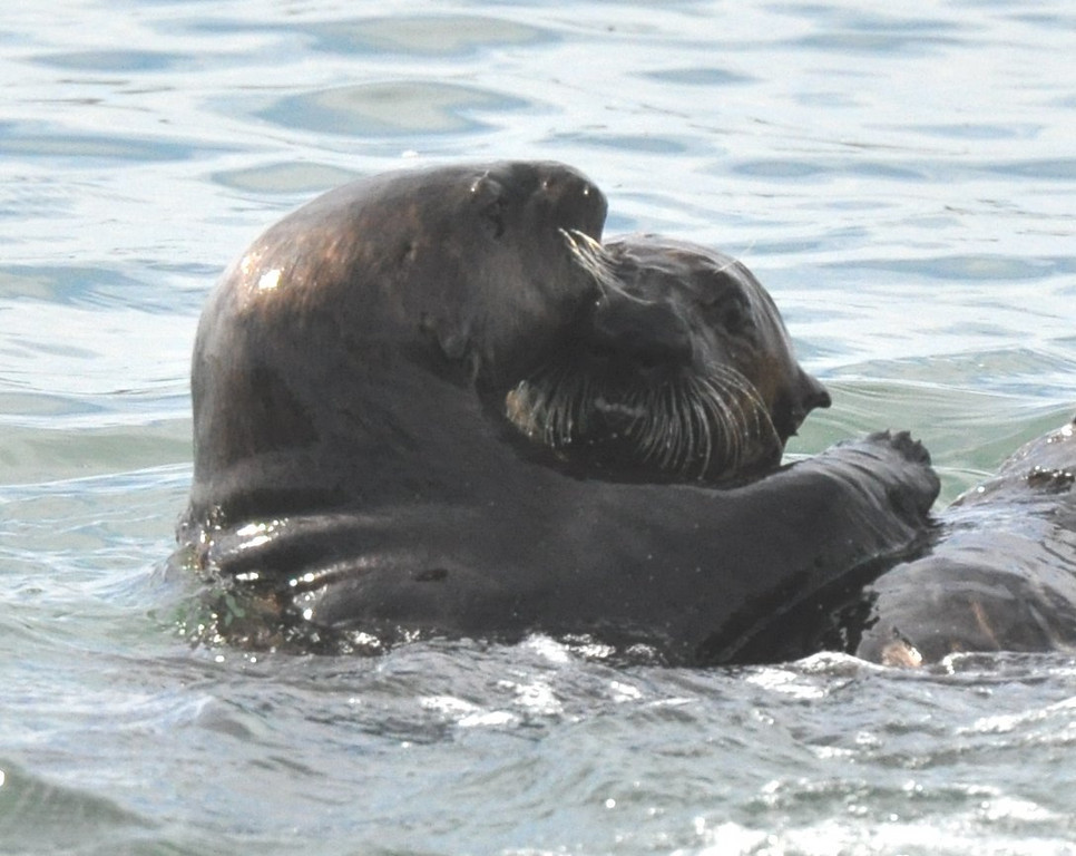 otters_two_playing_DSC_0256