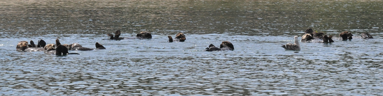 otters_a large raft_DSC_0048