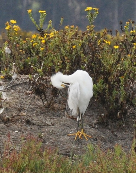 This snowy egret's large yellow feet amused us whenever we looked at these pictures.