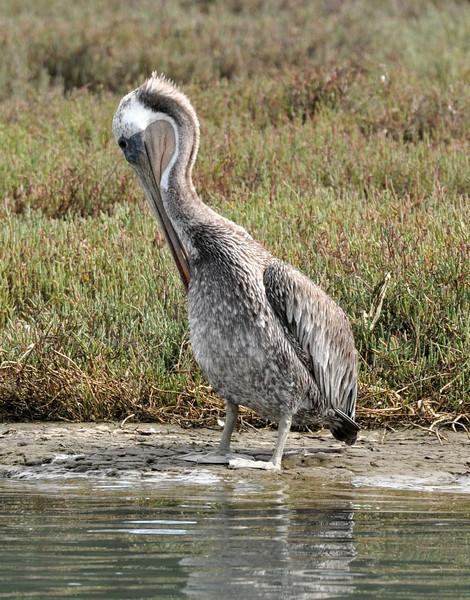 pelican_grooming_DSC_0153