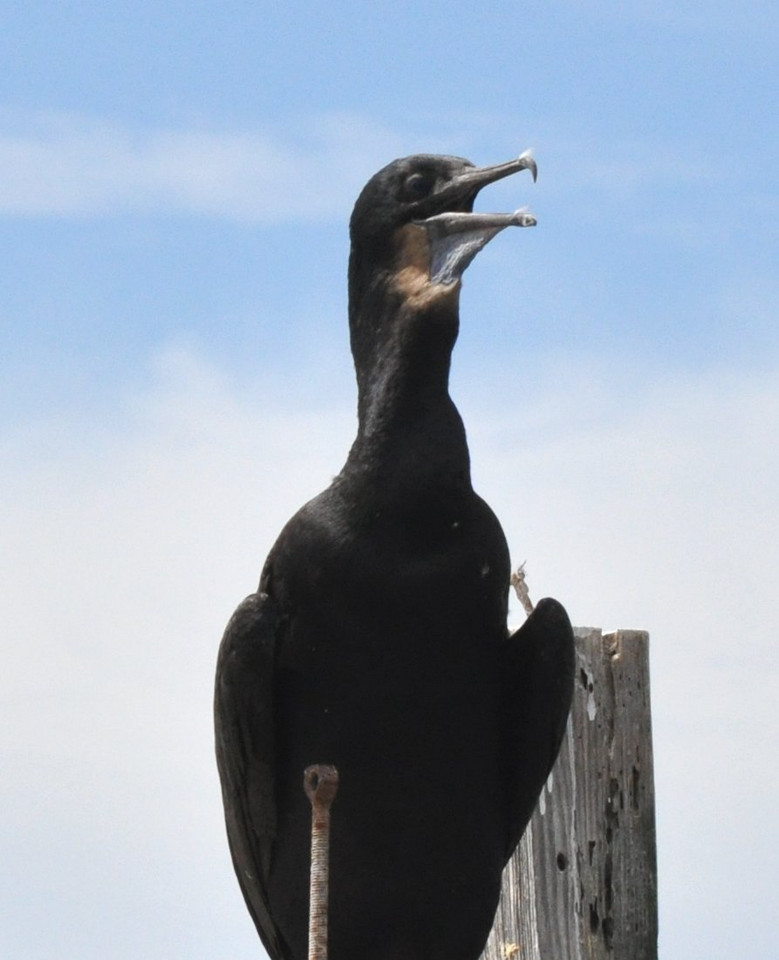 a cormorant panting - It was a hot day!