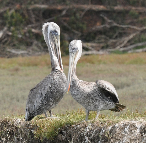 Brown pelicans seem to pose in interesting ways.