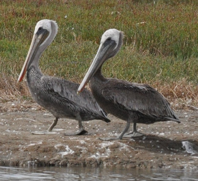 These two brown pelicans were taking a stately walk along the shore.