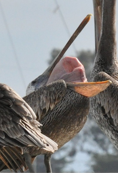 Pelicans produce the strangest shapes!