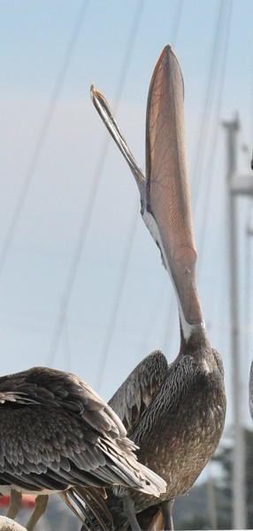 A pelican with its bill pointed upward and wide open.