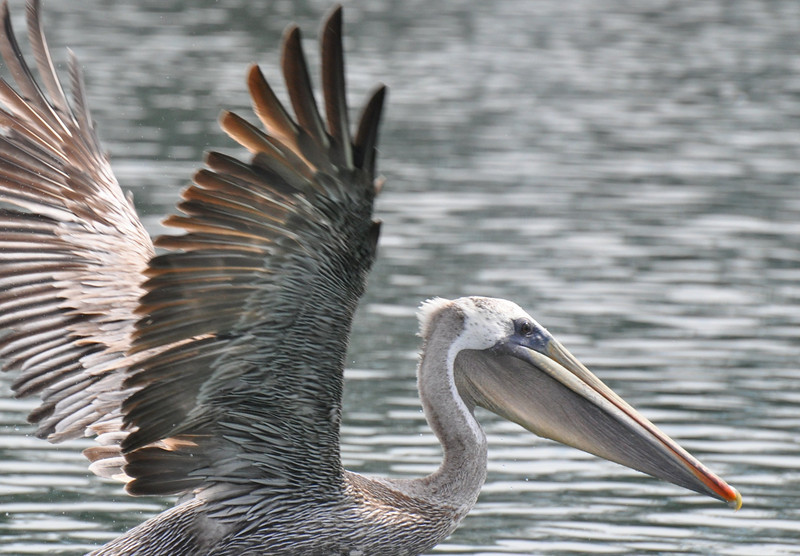 a brown pelican taking off as our boat got too close to it.