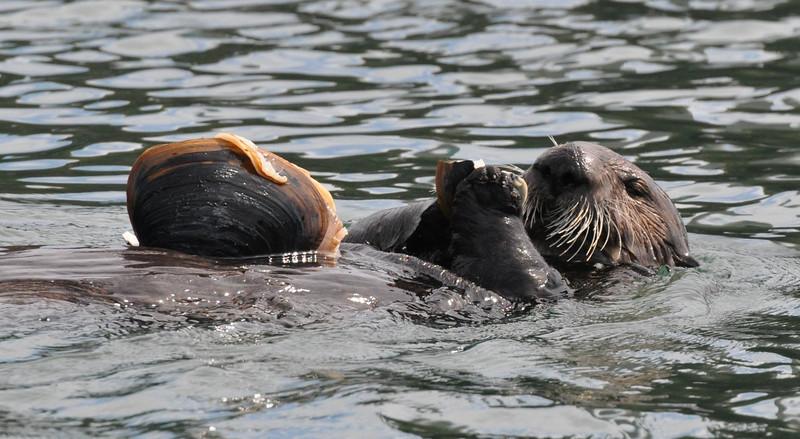 otter_eating clam_DSC_0082