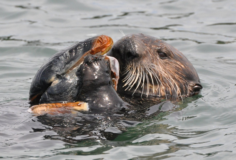 The clam shell is nearly as large as the otter's head.  part of the clam's siphon floats in front of the shell.