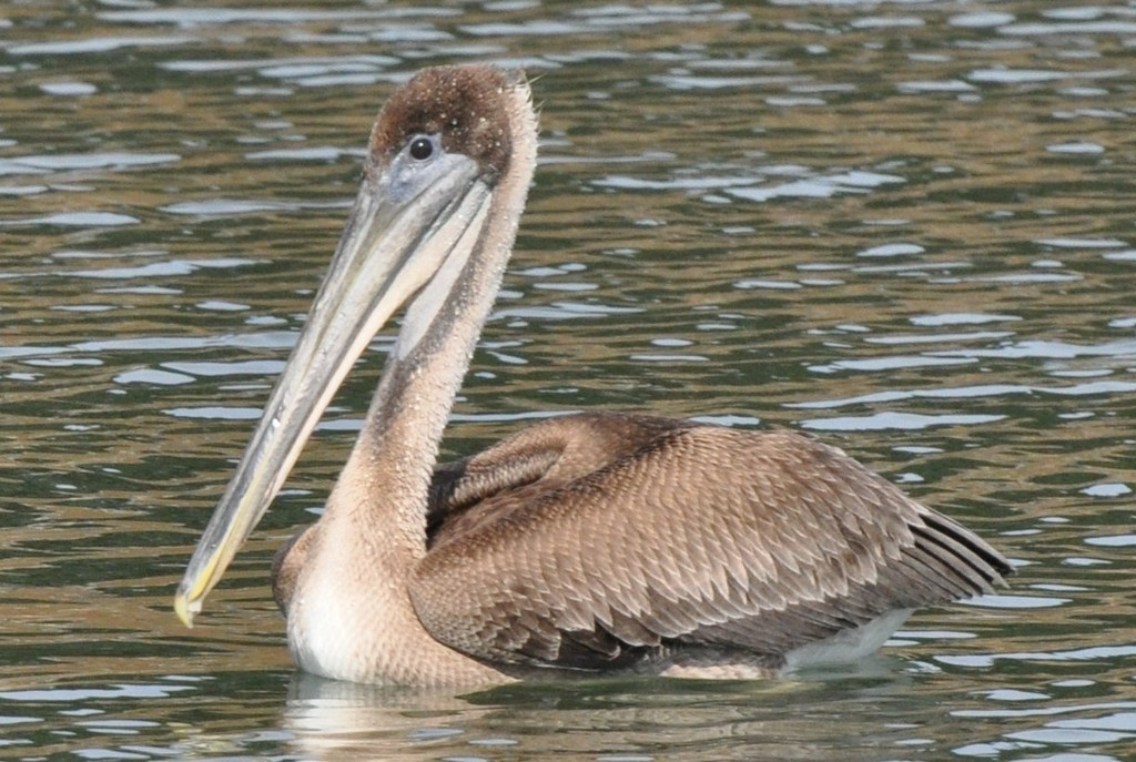 pelican_swimming_DSC_0298