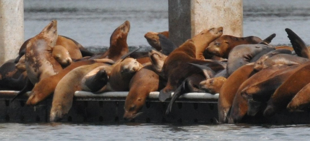 Sea lions resting on a dock - note how they drape limply over the edge of the dock.