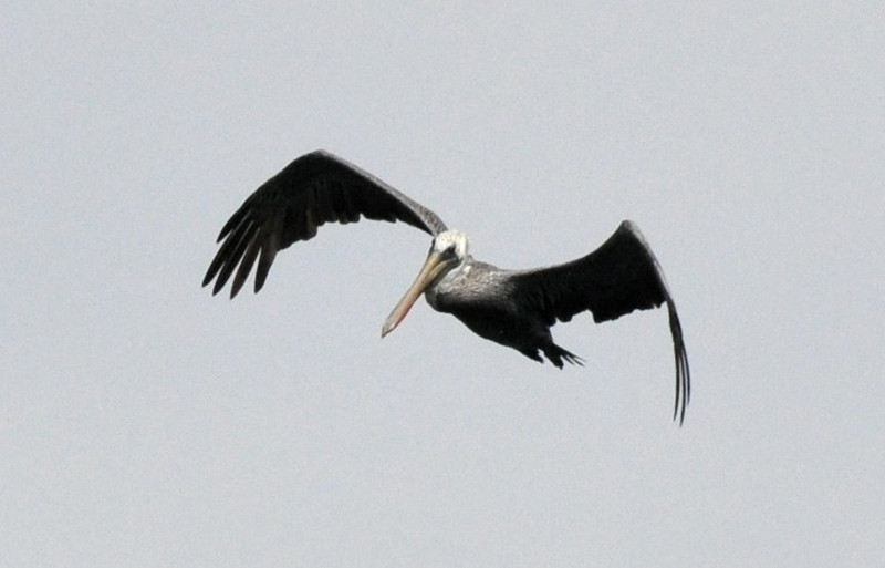 I think of pterodactyls when I see a pelican flying like this one.