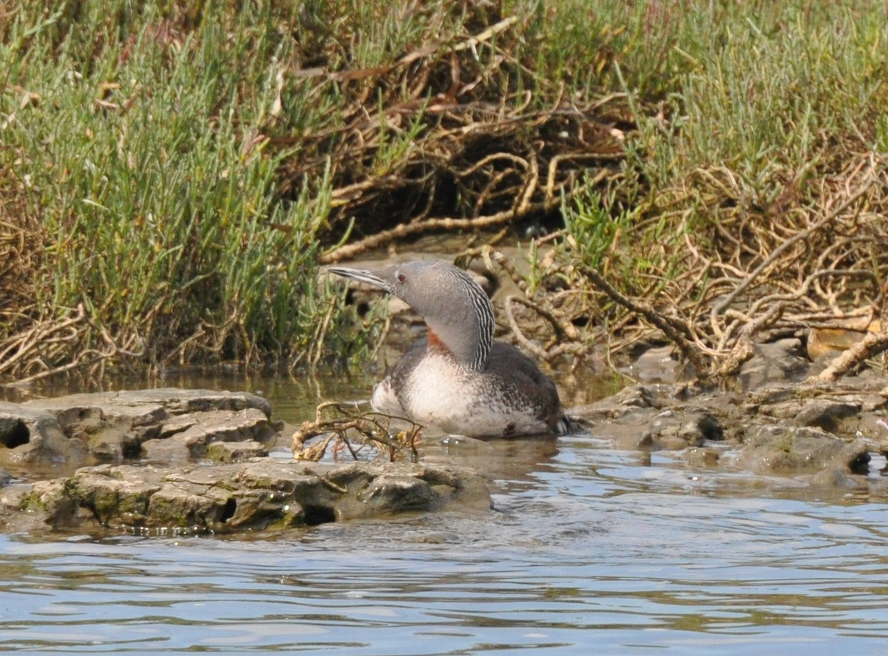 red throated loon_DSC_0126