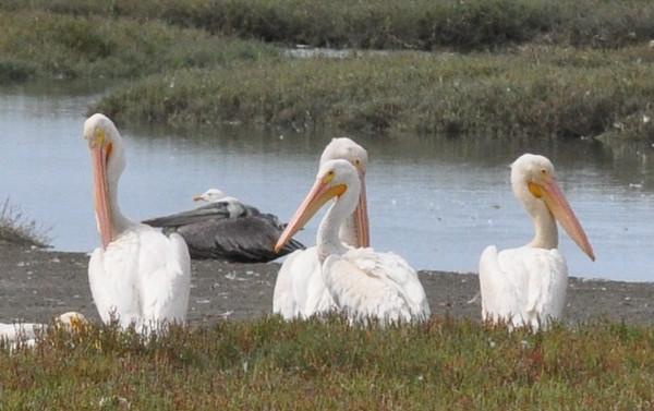 white_pelicans_DSC_0166
