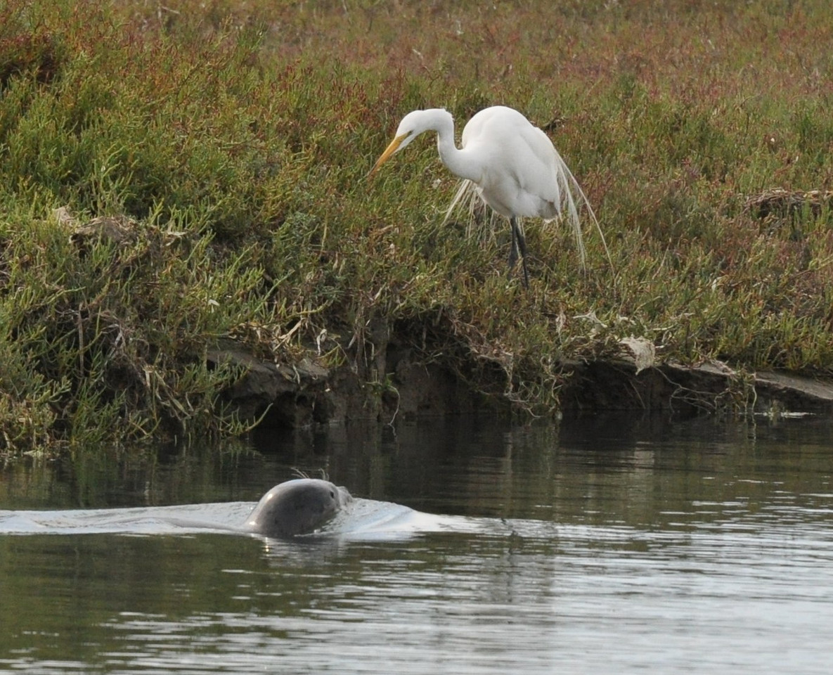 A harbor seal swims by a great egret.