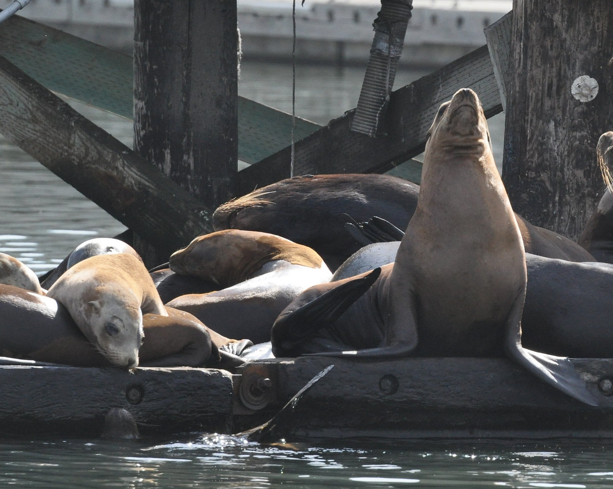 Sea lions resting on a dock - a male shows his dominance and no one else loses sleep over it.