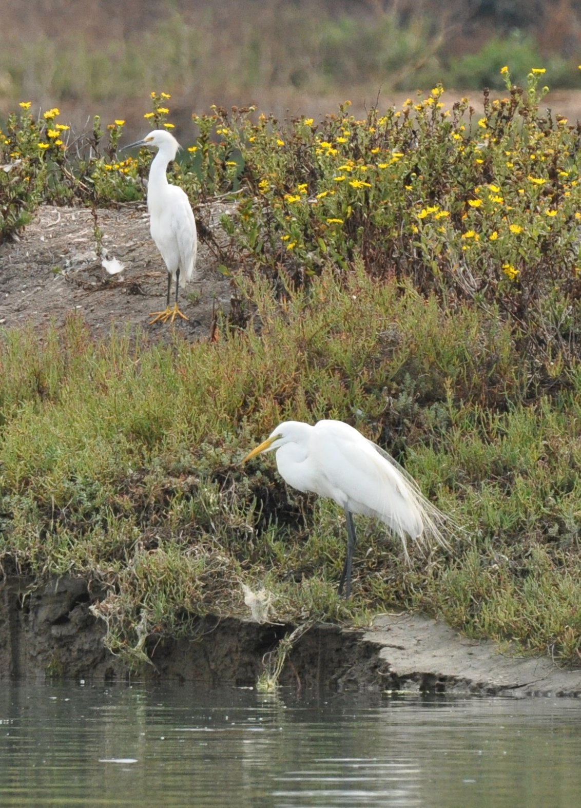 egrets_great and snowy_DSC_0186