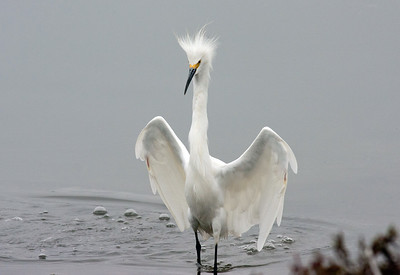 Snowy Egret defending his territory