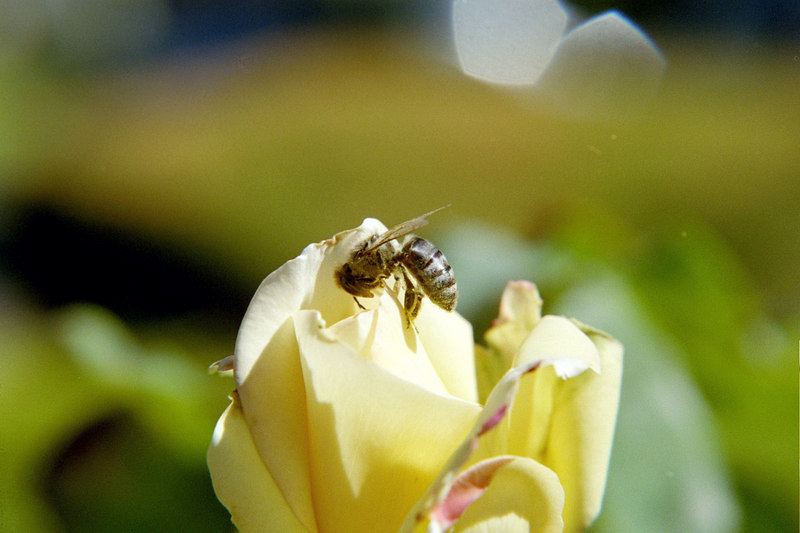 bee gathering pollen on yellow rose bud flower shooting macro for experimentation