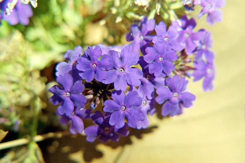 small purple flowers shooting macro for experimentation