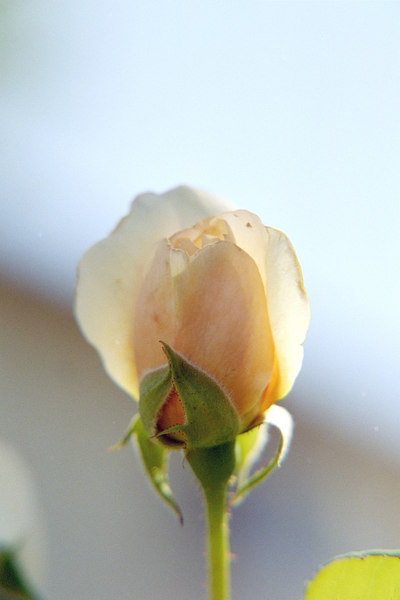 orange rose bud flower shooting macro for experimentation