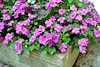 pink/violet impatients flowers in brick planter shooting macro for experimentation