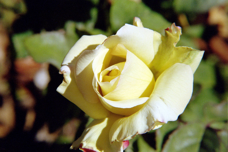 yellow rose flower shooting macro for experimentation