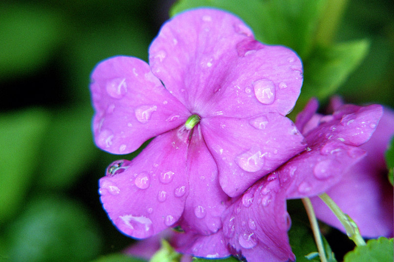 pink or violet impatiens  flowers shooting macro for experimentation with water droplets from morning watering