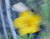 mentzelia_completely blurry image_P1040230