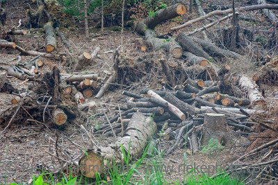 Clear-cut Forest - Fallen Trees after Hurricane Kyrill in Germany