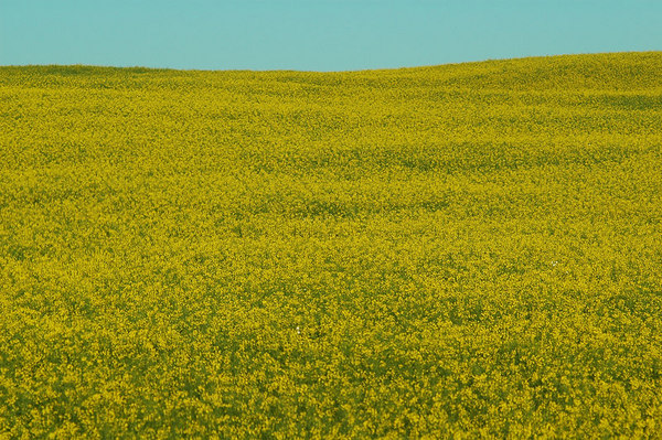 Mustard Meadow, Prairies of Canada