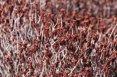 Corema conradii, Conrad's Crowberry; Burlington County, New Jersey  2013-03-23  #5