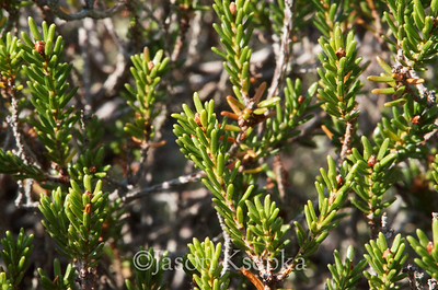 Corema conradii, Conrad's Crowberry; Burlington County, New Jersey  2012-09-14  #4