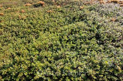 Arctostaphylos uva-ursi, Bearberry; Ocean County, New Jersey  2012-11-12  #6