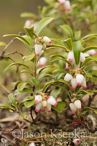 Arctostaphylos uva-ursi, Bearberry; Burlington County, Beaver Dam Road, Warren Grove, New Jersey 2014-05-09   5