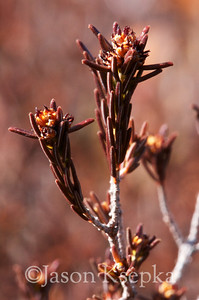 Corema conradii, Conrad's Crowberry, female; Burlington County, New Jersey  2013-03-23  #5
