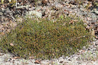 Corema conradii, Conrad's Crowberry, female; Burlington County, New Jersey 2015-05-23   8