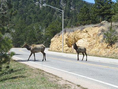2008 - view from Estes Park area - Elk crossing the street towards the creek by the barn