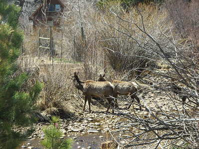 2008 - view from Estes Park area - Elk crossing the creek