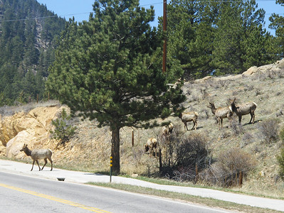 2008 - view from Estes Park area - here they come - crossing the road - why did the Elk cross the road?  BECAUSE THEY CAN