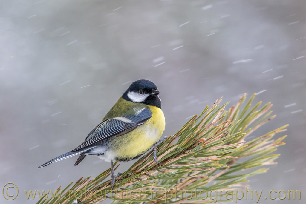 Great Tit in the Snow