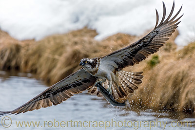 Osprey with fish near Kuusamo, Finland