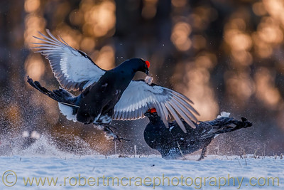 Black Grouse at Lek near Kuusamo, Finland