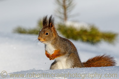 Eurasian Red Squirrel
