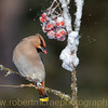 Bohemian Waxwing with a Frozen Berry