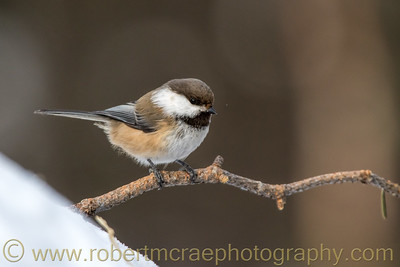 Siberian Tit (Grey Headed Chickadee)