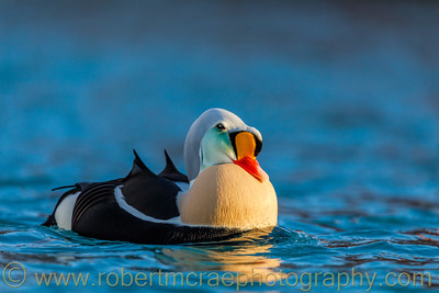 King Eider Display II