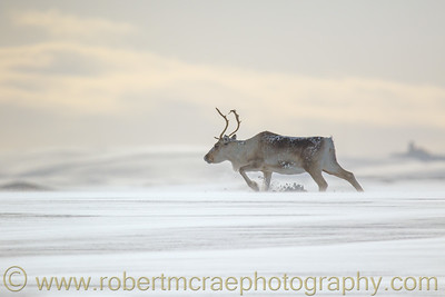 A Reindeer Trudges Through The Snow