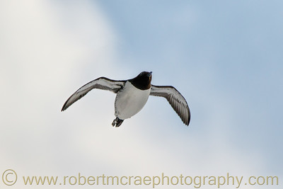 Common Guillemot (Common Murre) Takes Flight
