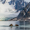 Three Walrus  play near a glacier near Smeerenburg.