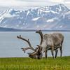 Svalbard Reindeer buck near Longyearbyen.
